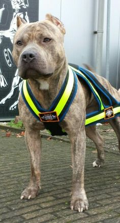 WEIGHTPULL HARNESS BLUE & FLUOR