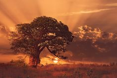 25 Beautiful Baobab Trees the Little Prince Forgot to Pull Up