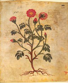 belacqui: Rhodon [from Juliana Anicia Codex] (AD 512)