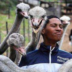"Pic by @alexander.esa ""Visitor Raymondo Blaaw poses with ostriches during their feeding at Cango Ostrich Show Farm in Oudtshoorn."" #TheLightContinent #sundaytimesza #photojournalism #documentary #africa #southafrica #ostrich #tourism"
