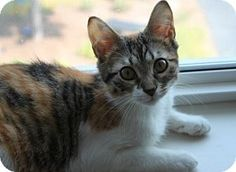 Meet Claire, an adoptable kitten at A.D.O.P.T. Pet Shelter in Naperville, IL