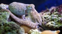 A common octopus.