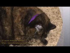 Punks: Epic Purrs - Jennifer Amriss' cat, Punks, purrs just for you. Listen and enjoy the relaxing, happy sounds of a happy kitty.