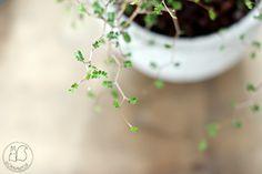 Oravanpesä | Pagodipuu Sophora prostrata 'Little Baby'