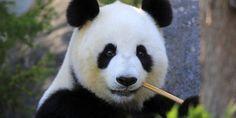 animais-fofos-extincao - Urso panda O urso panda é o bicho de pelúcia perfeito. Infelizmente, pode ser que no futuro ele se torne apenas um brinquedo de criança mesmo, já que hoje existem menos de 1.100 animais no Tibet, habitat natural do panda. A ameaça ocorre pela caça indiscriminada que ocorreu no passado, além da destruição das florestas onde vive.  Crédito da imagem: J und C Sohns / Getty Images
