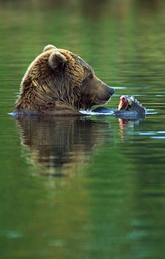 The Fishing Hole - Brown Bear  Brooks River, Katmai National Park, Alaska