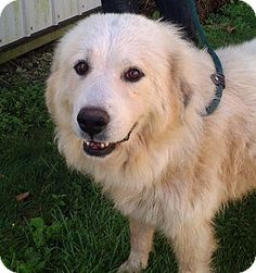 9//13/15 Brookville, IN - Great Pyrenees Mix. Meet Emily, a dog for adoption. http://www.adoptapet.com/pet/13819956-brookville-indiana-great-pyrenees-mix