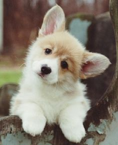 Welsh corgi pup I must have one as a brother or sister for Penny!!