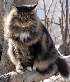 Fabulous Maine Coon cat….