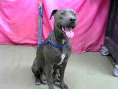 RESCUED ✨❤️DEVORE,CA. EUTH LIST 12/04/17. Allie ID#A684536. 2 yr. 1 mo. old female Pit Bull Terrier. No issues. Time & space. Arrived 10/29/17.