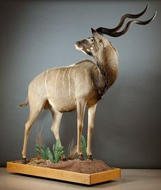 A FULL BODY TAXIDERMY MOUNT, Cape (Greater) Kudu on diorama pedestal with casters, Huhanage, South African, 2000.  Overall height - 93 inches.