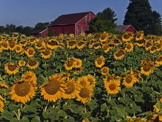 Sunflowers with red barn in distance