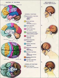 thenewenlightenmentage: Anatomy of the Brain