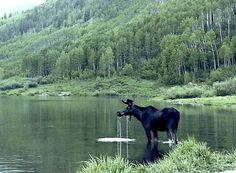Aspen Moose alert: Don't get too close if you see one of these big guys