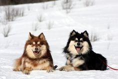 Coat Colors Brown and Tan and Black and Tan Brown and Tan is recessive and much less common Big Dogs, I Love Dogs, Cute Dogs, Guard Dog Training, Puppies And Kitties, Doggies, Super Cute Animals, Snow Dogs, My Animal