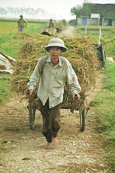 Vietnam : rice harvest