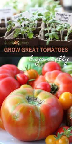 Grow Great Organic Tomatoes with tips from the Executive Producer and Host of Growing a Greener World, Joe Lamp'l
