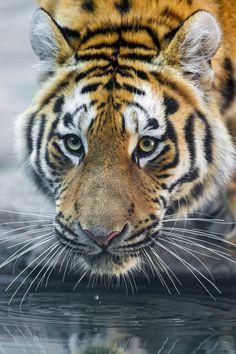 "bigcatkingdom: ""Liska drinking (by Tambako the Jaguar) """