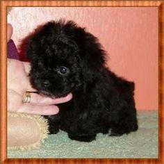 Micro Teacup Poodles - Bing Images
