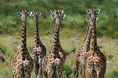 Black Tongue, Greatest Mysteries, Cute Faces, Beautiful Creatures, Elephants, Cute Pictures, Camel, Appreciation, Rock