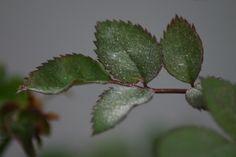 Tri najčastejšie choroby, ktorými trpia ruže: Múčnatka, čierna škvrnitosť a hrdza Strawberry, Strawberry Fruit, Strawberries, Strawberry Plant