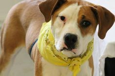 WILL DIE THERE<NAME: Butch  ANIMAL ID: 25278278  BREED: Pit  SEX: male  EST. AGE: 2 yr  Est Weight: 54 lbs  Health: heartworm neg  Temperament: dog friendly, people friendly  ADDITIONAL INFO: owner passed away  RESCUE PULL FEE: $49  Intake date: 3/30  Available: Now