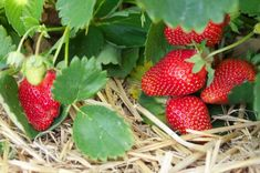 Tips on growing strawberries organically in your food garden and how to enhance organic strawberry growing methods with biodynamic preparations. Strawberry Bush, Strawberry Garden, Strawberry Patch, Strawberry Plants, Strawberry Fields, Strawberry Recipes, Strawberry Preserves, Organic Gardening, Gardening Tips