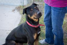 Dodge is a 3.5 yr. old male Rottweiler mix who has been at the Alpine Humane Society, Alpine,TX. since 09/09/16.