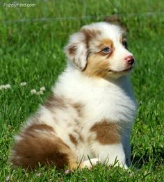 Everything we all admire about the Australian Shepherd Pup Australian Shepherd Puppies, Aussie Puppies, Cute Puppies, Cute Dogs, Dogs And Puppies, Australian Shepherds, Doggies, Blue Merle, Cute Baby Animals