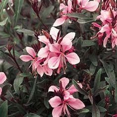 Siskiyou Pink Gaura In Flower Bed Garden Trees Flowers Plants