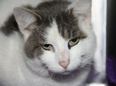 """Meet Boomer (Neutered) (In Foster Care) - Sponsored a Petfinder adoptable Domestic Short Hair-white Cat 