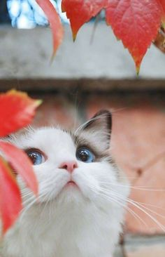 Those blue eyes! Reminds me Sam's beautiful eyes (: My obsession with Ragdoll Kitties continues!