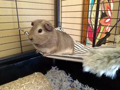 Marigold loves her guinea pig hammock. She even has her own faux fur throw.