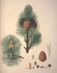 69083 Pinus cembra L. / Lambert, A., Description of the genus Pinus and some other remarkable plants, ed. Vintage Botanical Prints, Botanical Drawings, Botanical Illustration, Botanical Art, Vintage Prints, Pine Cone Drawing, Black And White Drawing, Flora, Pine Cones