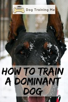 How to train a dominant dog and get them to be more obedient? Stop your dog's dominant behavior with the advice in our article. We will help you train your stubborn or aggressive dog so you can enjoy having them around again. #trainadominantdog #dominantdog #dogtraining