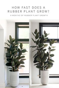 Keeping your Rubber Tree Alive and Happy - from Revive Nursery, a plant care guide! Everything you need to know to care for your ficus elastica Ficus Elastica, Plant Png, Zz Plant, Planet Decor, Low Maintenance Indoor Plants, Plants Vs Zombies 2, Decoration Plante, House Plants Decor, House Tree Plants