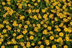 Sommerblomster til blomstereng KRYPSOLKNAPP