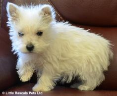 Gorgeous pure Westie puppies - Pedigree Puppies For Sale