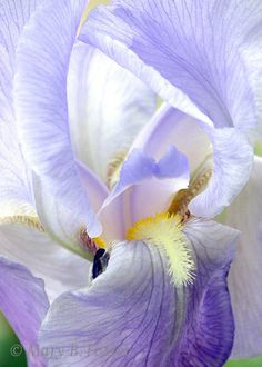 Pale Blue Iris Flower Photograph 5x7 fine by MaryFosterCreative, $15.00