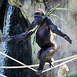 A male gorilla has taught himself how to walk a tightrope to try and impress the female at Taronga Zoo, Sydney, Australia. - Imgur