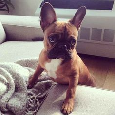I want a Frenchie! Look at that face!
