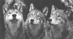Curious Wolves