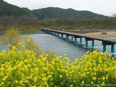 菜の花と沈下橋(Rapeseed blossoms with Low water crossing) #Japan #Spring