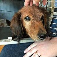 Humble Tx Dachshund Meet Luke A Pet For Adoption Pet Adoption Dachshund Adoption Animal Projects