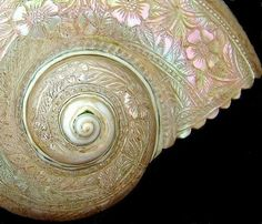 Delicate shell carving.