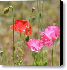 Poppy Field Stretched Canvas Print / Canvas Art By Ps Photography