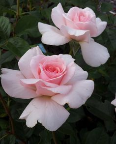 ~'Mother's Love' | Hybrid Tea rose