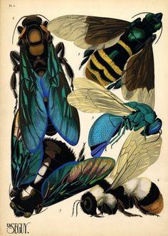 Pochoir Insects. 1. Scolia procer. Asie Tropicale; 2. Eulema dimidiata. Brésil; 3. Stilbum splendidum. Cosmpolite; 4. Bombus lapidarius incertus. Arménie; 5. Xylocopa tenuiscapa. Asie Tropicale