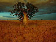Baobabs have to be one of the most amazing trees.