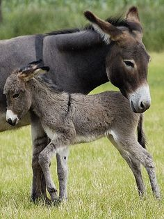 ~~Protected ~ Donkey mother and foal by friedkampes~~